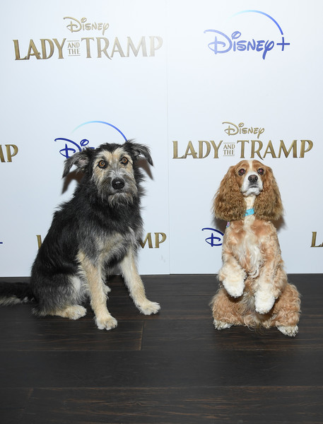 "Cinema Society Hosts Special Screening Of Disney+'s ""Lady And The Tramp"" - Red Carpet [lady and the tramp,dog,canidae,dog breed,cocker spaniel,english cocker spaniel,spaniel,american cocker spaniel,carnivore,sporting group,companion dog,rose,monte,screening,ipic theater,new york city,cinema society hosts special screening of disney,red carpet]"