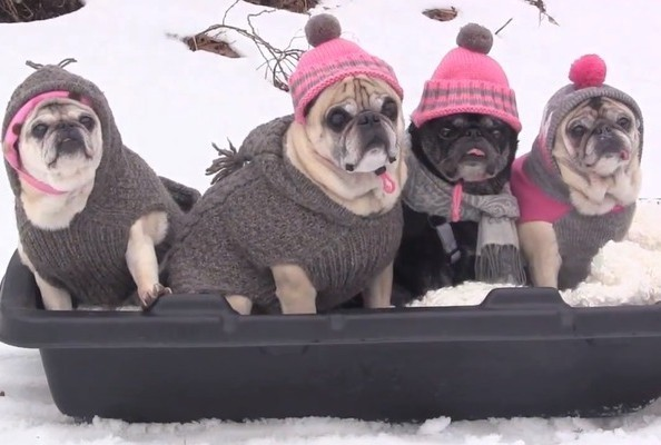 End of Season Treat: See Pugs Sledding in Tiny Hats and Sweaters!