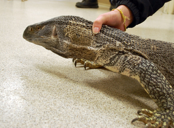 Black-Throated Monitor Lizard Found in a Garden - Zimbio